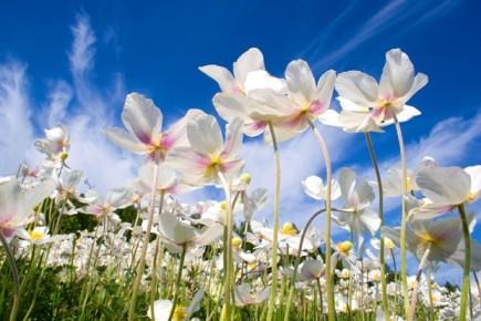 10933647537603 Выращивание и уход за таким растением, как Анемона корончатая (Ветренница)