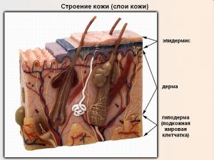 0007-002-Termoreguljatsija-organizma-300x225 Строение и функции кожи