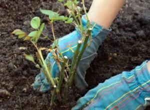 6430-300x219 Новый способ посадки кустов доступен, если купить удобрения